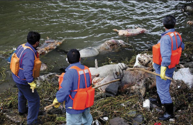 Workers trying to fish floating pig carcasses out of the Huangpu River. Source: Yangcheng Evening News