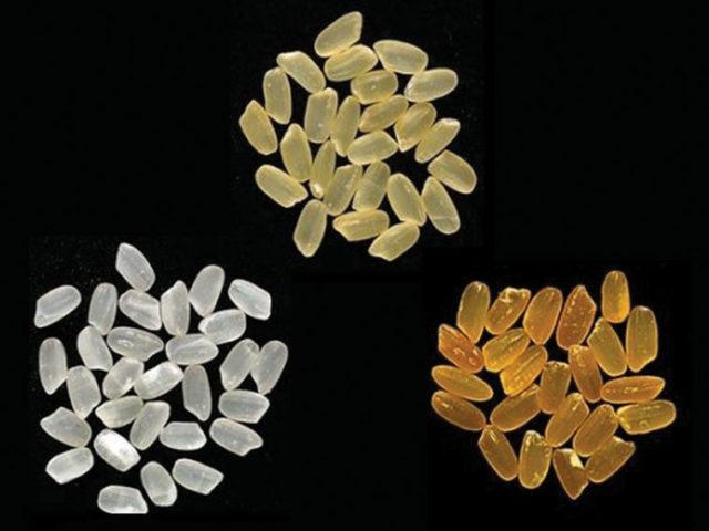 Wild type (white), Golden Rice 1 (yellow), Golden Rice 2 (orange). Source: Science Squirrel